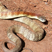 Most Common Venomous and Nonvenomous Snakes in Australia